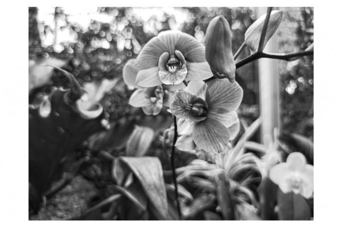 Картина Чёрно-белая орхидея